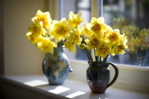 Two decorative vases of colourful yellow spring daffodils or narcissus standing in the sunlight on a windowsill